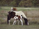 Chincoteague Ponies Grazing on Assateague Island, Virginia Photographic Print by Medford Taylor
