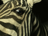 Close View of Zebra Face Photographic Print by Steve Winter