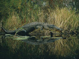 American Alligator Basking Near the Water Photographic Print by Farrell Grehan