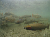 Cutthroat Trout Swim About Above a Gravelly Bottom Photographic Print by Michael S. Quinton