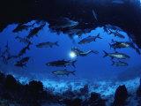Bill Curtsinger - A Diver Passes by a School of Tarpon Near an Underwater Arch - Fotografik Baskı