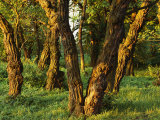 Woodland View of Gnarled Tree Trunks Photographic Print by Norbert Rosing