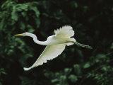 A Great Egret, Casmerodius Albus, Flies Gracefully Photographie par Tim Laman