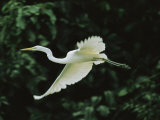 A Great Egret, Casmerodius Albus, Flies Gracefully Photographic Print by Tim Laman