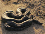 An Anaconda on Sand in Venezuela Photographic Print by Ed George