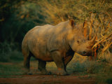 A view of a rhinoceros Lmina fotogrfica por Chris Johns