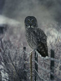 Portrait of a great gray owl  on a frosty fence in winter Photographie par Michael S. Quinton
