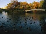 Mallard Ducks Gather at Dusk Near a Bridge on a Central Park Lake Photographic Print by Melissa Farlow