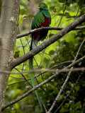 Male Resplendent Quetzal (Pharomachrus Mocinno) on a Tree Branch Papier Photo par Roy Toft