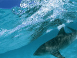 A Tiger Shark Cruising Blue Waters Just Under a Wave Photographic Print by Bill Curtsinger