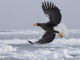 Stellers Sea Eagle in Flight Over Sea Ice (Haliaeetus Pelagicus) Photographic Print by Roy Toft