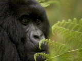 Endangered Mountain Gorilla (Gorilla Gorilla Beringei), Close-up Face Photographic Print by Roy Toft