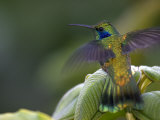 Green Violet-Ear Hummingbird (Colibri Thalassinus), Wings Extended Photographic Print by Roy Toft