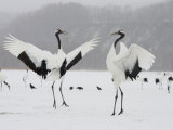 Pair Endangered Red-Crowned Cranes in Mating Dance (Grus Japonensis) Photographic Print by Roy Toft