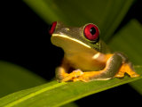 Nocturnal Red-Eyed Tree Frog (Agalychnis Callidryas) Sitting on Leaf Photographic Print by Roy Toft