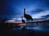 Sandhill Cranes Roost on the Platte River at Twilight Photographic Print by Joel Sartore