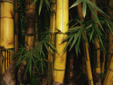 A Bamboo Thicket Photographie par Steve Winter