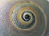 A Close View of a Moon Snail Shell, Lunatia Heros Fotoprint van Darlyne A. Murawski