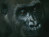 Portrait of a Gorilla Photographie par Michael Nichols