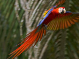 Scarlet Macaw (Ara Macao) in Flight, Preparing to Land in Palms Stampa fotografica di Roy Toft