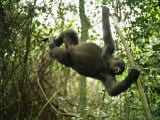 A Gorilla Swinging from a Vine Photographic Print by Michael Nichols