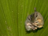 Two Tent-Making Bats Huddle Together Under Palm (Artebius Watsonii) Fotografisk tryk af Roy Toft