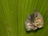 Two Tent-Making Bats Huddle Together Under Palm (Artebius Watsonii) Photographic Print by Roy Toft