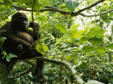 A Gorilla Sitting in a Treetop Photographic Print by Michael Nichols