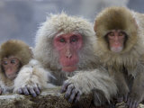 Adult and Two Young Japanese Macaques (Snow Monkeys) on Rock Ledge Photographic Print by Roy Toft