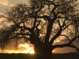 Silhouetted African Baobab Tree at Sunset Photographic Print by Roy Toft