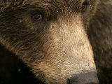 Close-up of Alaskan Brown Bear Face (Ursus Arctos) Photographic Print by Roy Toft
