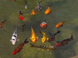 Koi Fish in a Pond Fotografiskt tryck av Raul Touzon