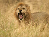 A Snarling Male African Lion in Tall Grass (Panthera Leo) Photographic Print by Roy Toft
