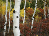 The White Bark of Autumn Colored Aspen Trees Photographie par Charles Kogod