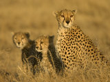 A Cheetah Mother and Her Two Cubs Sitting in Grass (Acinonyx Jubatus) Photographic Print by Roy Toft