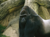 A Captive Mountain Gorilla Photographic Print by Joel Sartore