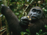 A Gorilla Eating Photographic Print by Michael Nichols
