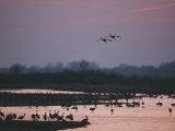 A Pair of Sandhill Cranes Soar Above the Platte River at Twilight Photographic Print by Joel Sartore