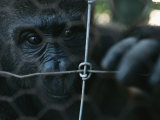 Orphaned Gorilla at Gorilla Protection Project to be Released in Wild Photographic Print by Michael Nichols