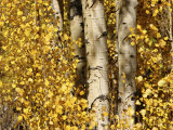 Sunlight Shines on Golden Aspen Leaves Photographic Print by Charles Kogod