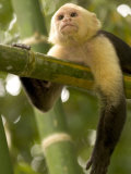 A White-Throated Capuchin Monkey on a Bamboo Stalk (Cebus Capucinus) Photographic Print by Roy Toft