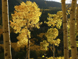Autumn Colored Aspen Trees Photographie par Charles Kogod