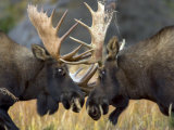 Close-up of Two Moose Locking Horns and Fighting (Alces Alces) Photographic Print by Roy Toft