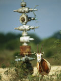 A Scimitar Horned Oryx Next to an Oil and Gas Well Photographic Print by Joel Sartore