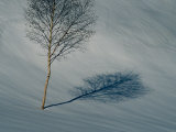 A Leafless Birch Tree Casts Its Shadow on Fresh Snow Photographic Print by Bill Curtsinger