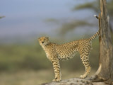 A Cheetah with Raised Tail Stands at the Base of a Tree Photographic Print by Roy Toft