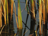 Aquatic Grass Emerges from a Pond at the Chicago Botanic Garden Photographic Print by Paul Damien
