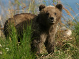 Alaskan Brown Bear Cub (Ursus Arctos) Standing in Grass Photographic Print by Roy Toft