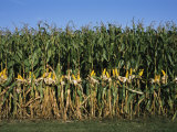 Feed Corn is Husked While on the Stalk for a Presentation Photographic Print by Paul Damien