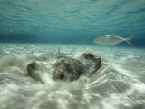 A Southern Sting Ray Burrowing into Sand as a Fish Swims Nearby Photographie par Bill Curtsinger